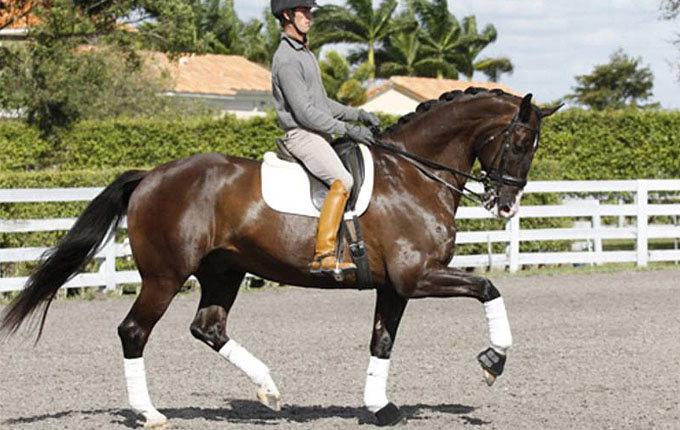 FEI Dressage Horses for Sale